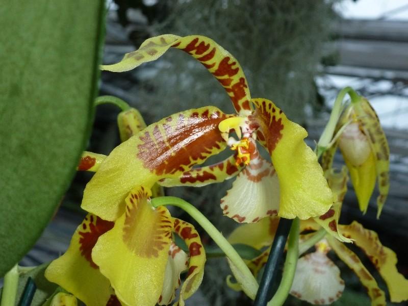 Letzte große Orchideenausstellung am Zinterhof ... P1070410