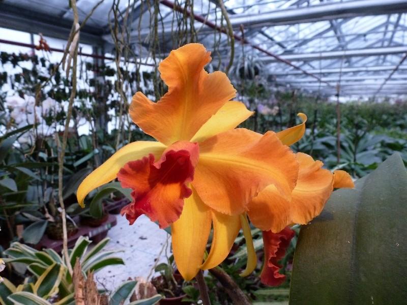 Letzte große Orchideenausstellung am Zinterhof ... P1070510