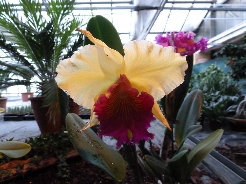 Letzte große Orchideenausstellung am Zinterhof ... P1070512