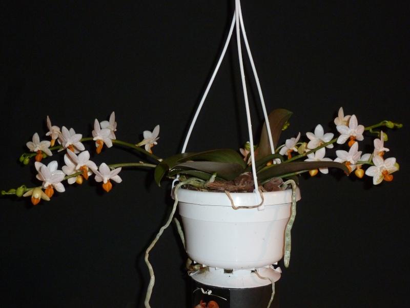 Letzte große Orchideenausstellung am Zinterhof ... P1070513