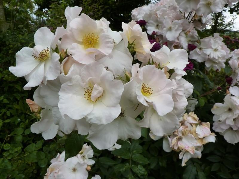 Sally Holmes    Moschata    (buisson/arbuste) Sally_21