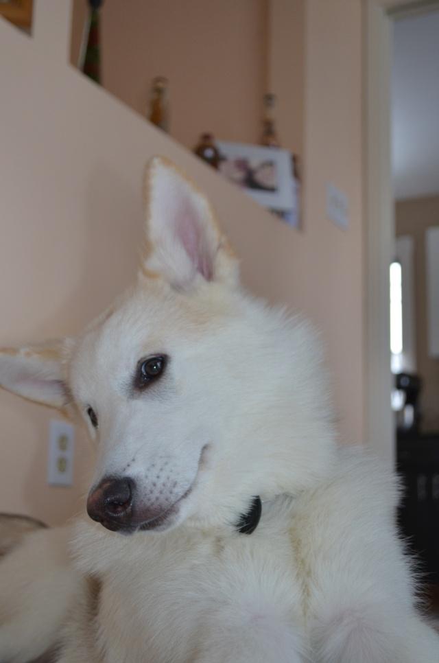 Classic Photos Of Your Huskies - Page 3 Loki_011