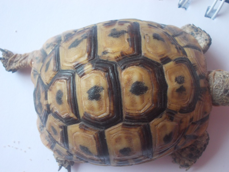 qui peu m'aider a identifier cette tortue Dscn0732