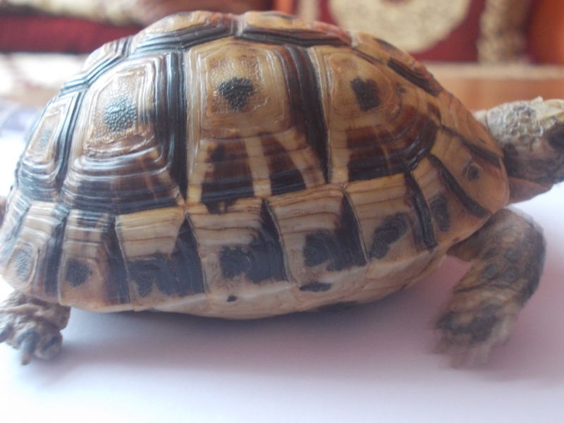 qui peu m'aider a identifier cette tortue Dscn0733