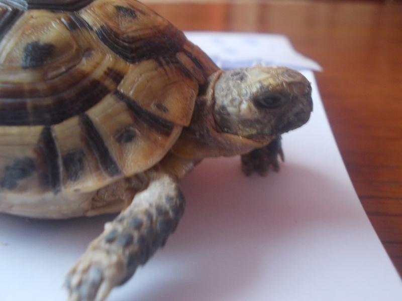 qui peu m'aider a identifier cette tortue Dscn0735