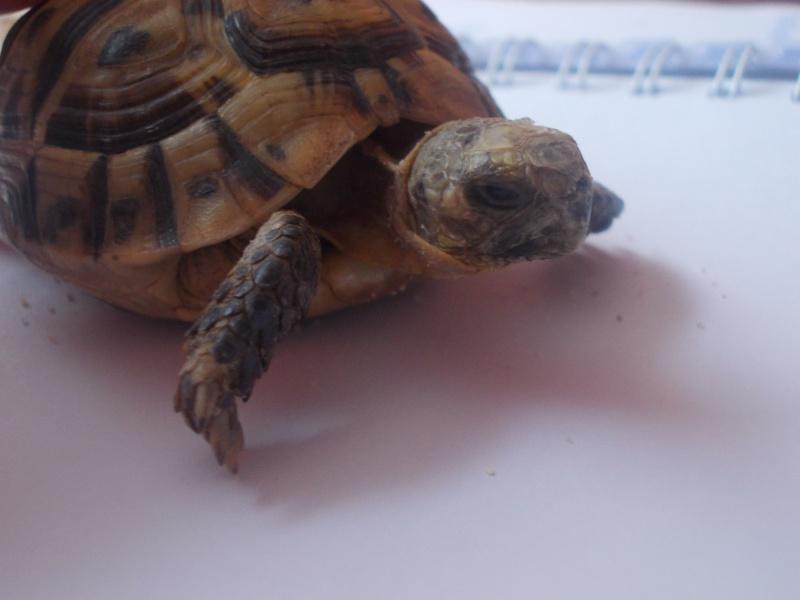 qui peu m'aider a identifier cette tortue Dscn0736