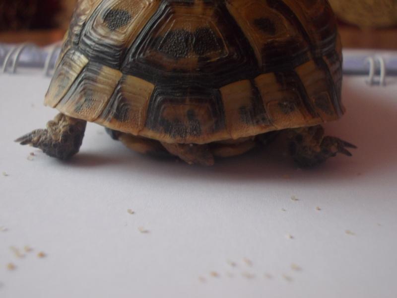 qui peu m'aider a identifier cette tortue Dscn0737