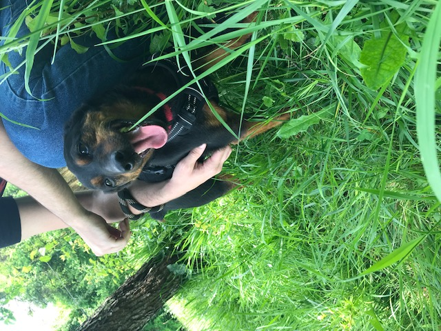 GUGUS -  x jagd terrier/pinscher 9 ans - Refuge des Clochards Poilus à Tabanac (33) Image310