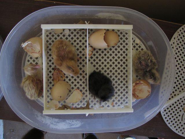 Poule poussinicide [poule qui veut tuer tue un de ses poussins] A13