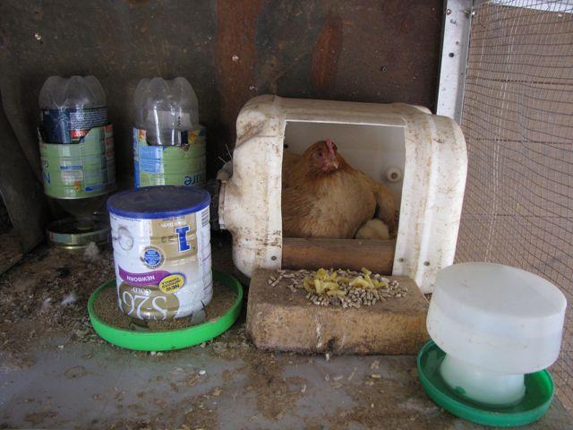 Poule poussinicide [poule qui veut tuer tue un de ses poussins] Aa10