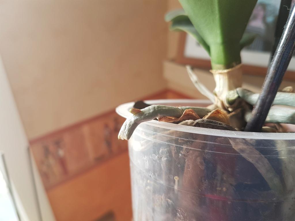 Floraison phalaenopsis 20180611