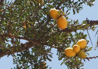 L'huile d'argan  Fruita10