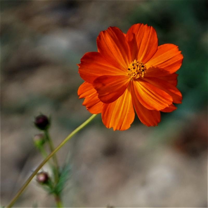 une ch'tite orange Dsc08310