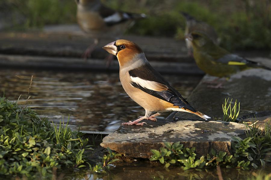 Fórum Aves - Birdwatching em Portugal - Portal Img_0510