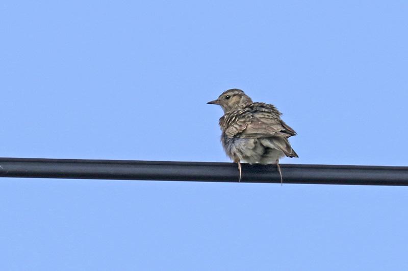 Passeriformes Img_0514