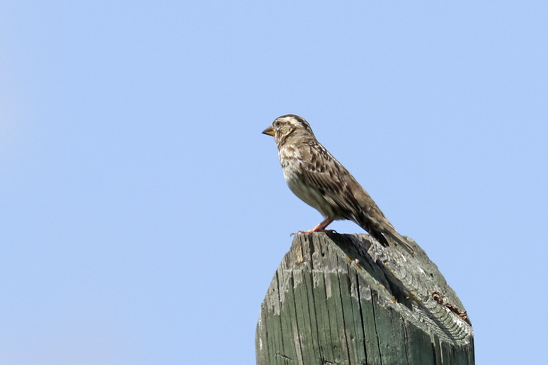 Passeriformes Img_0516