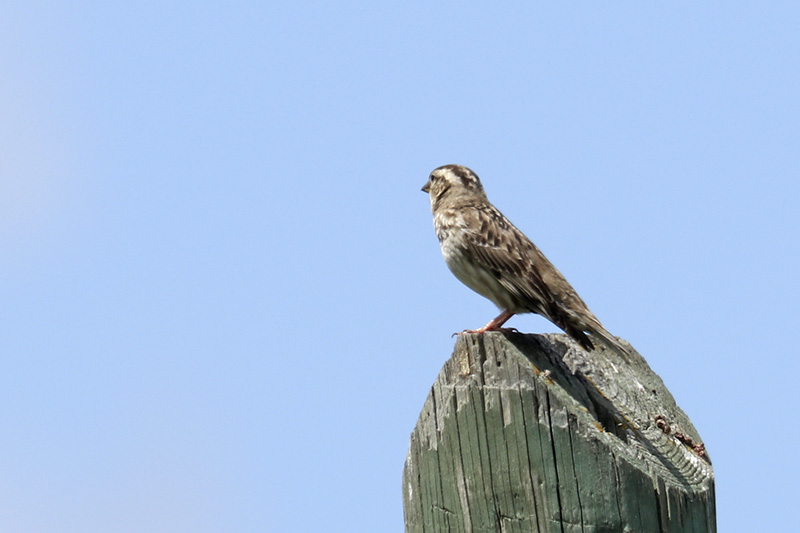 Passeriformes Img_0517