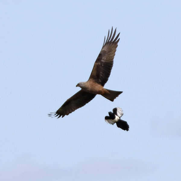 Fórum Aves - Birdwatching em Portugal - Portal Img_0615