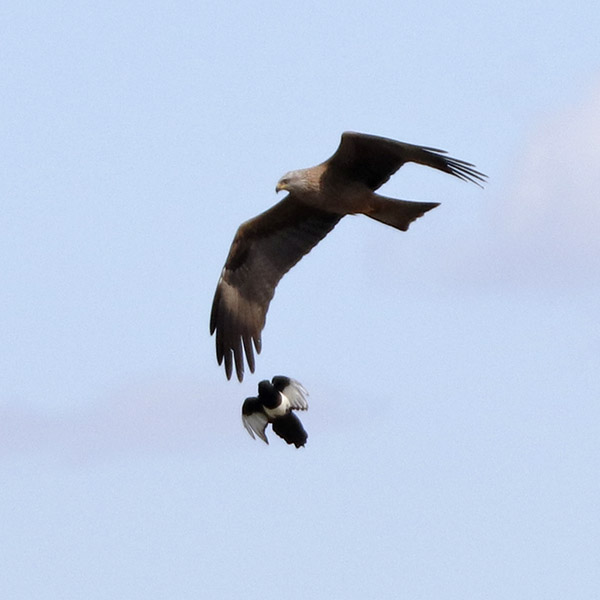 Fórum Aves - Birdwatching em Portugal - Portal Img_0616
