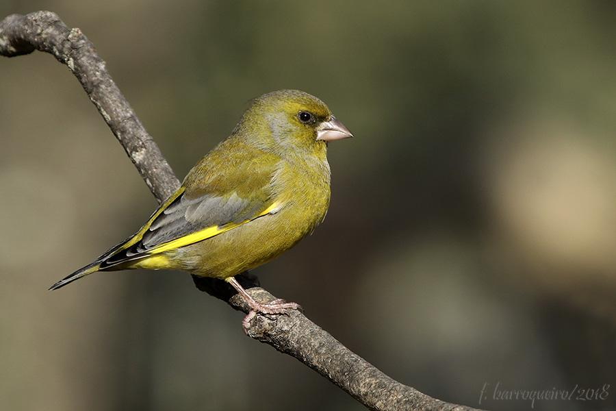 Aves do Quintal Img_2611