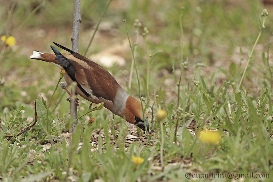 Fórum Aves - Birdwatching em Portugal - Portal Img_4910