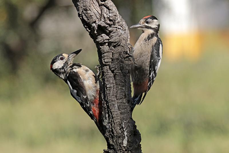 Fórum Aves - Birdwatching em Portugal - Portal Img_5712