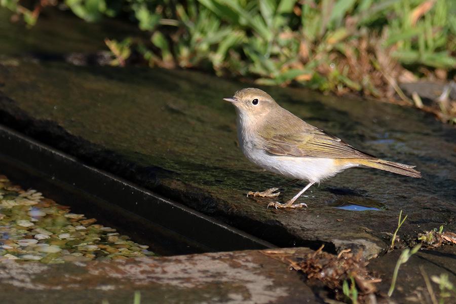 Fórum Aves - Birdwatching em Portugal - Portal Img_5910