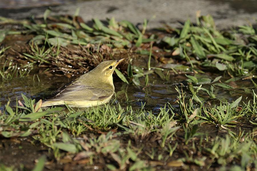Fórum Aves - Birdwatching em Portugal - Portal Img_5911