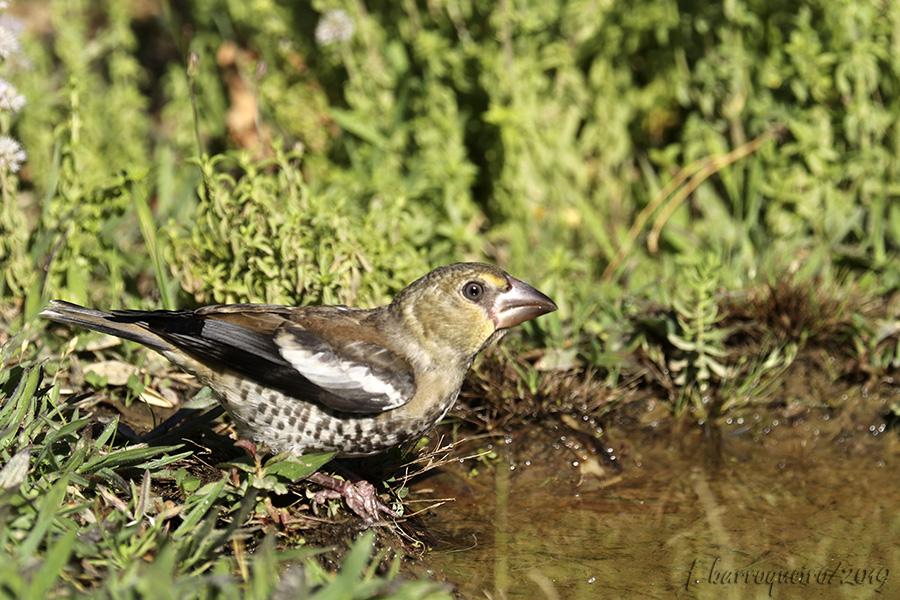 Fórum Aves - Birdwatching em Portugal - Portal Img_5912