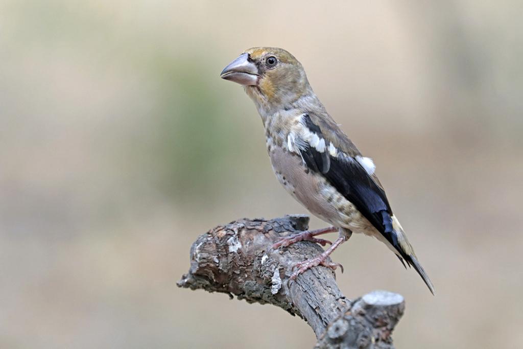 Fórum Aves - Birdwatching em Portugal - Portal Img_6415