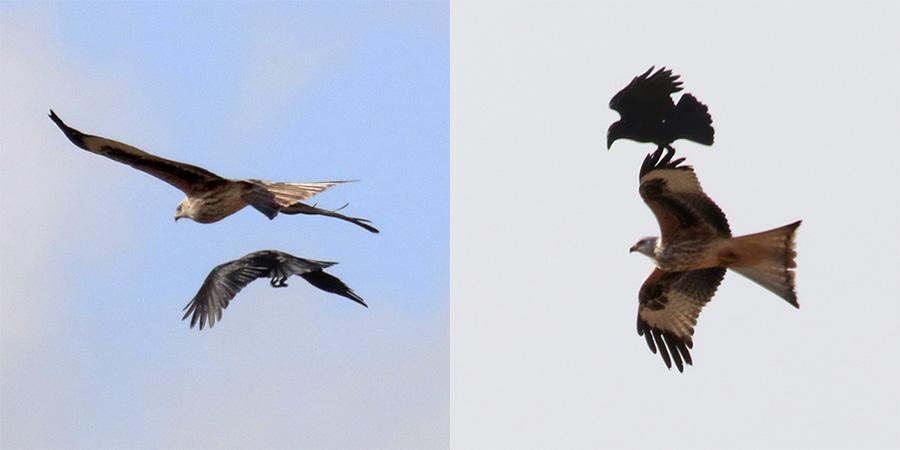 Fórum Aves - Birdwatching em Portugal - Portal Img_9910