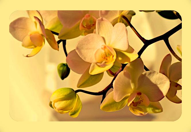 Орхидея. Aau12