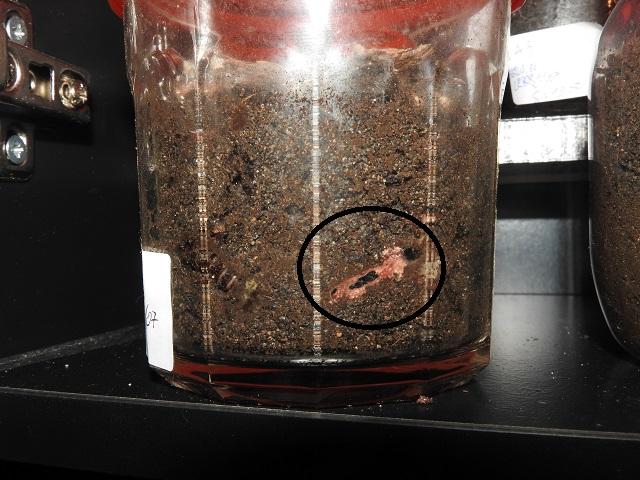 Tuto d'élevage: Tachypus Auratus Alimen10