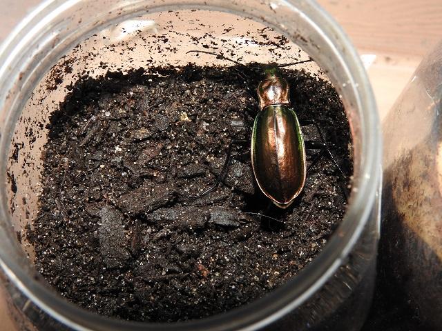 Chrysocarabus splendens  C_arr_10
