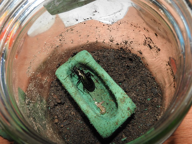 Chrysocarabus splendens  C_arra10