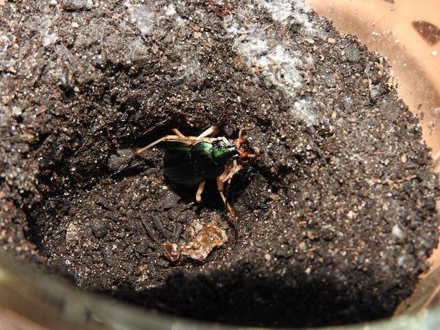 Tuto d'élevage: Tachypus Auratus Dscn1311