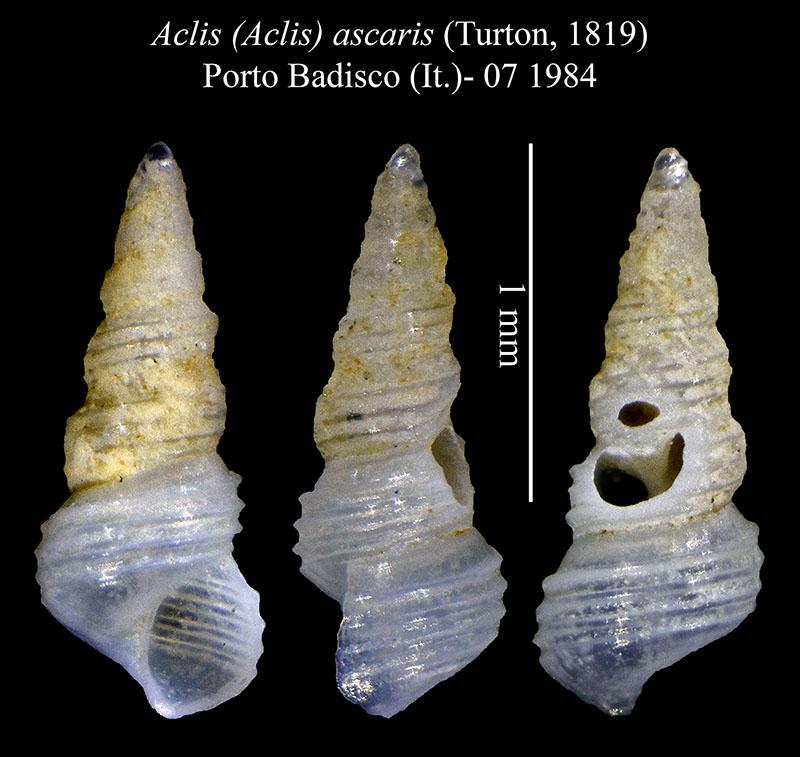 Aclis ascaris (Turton, 1819)  Aclis_11