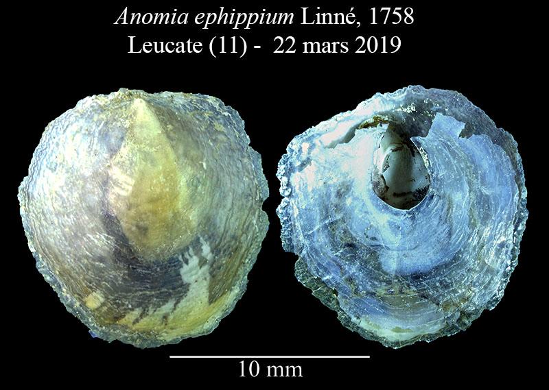 Anomia ephippium et son byssus calcifié Anomia13