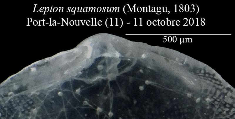 Lepton squamosum Lepton10
