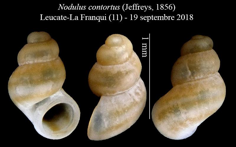 Nodulus contortus (Jeffreys, 1856) Nodulu12