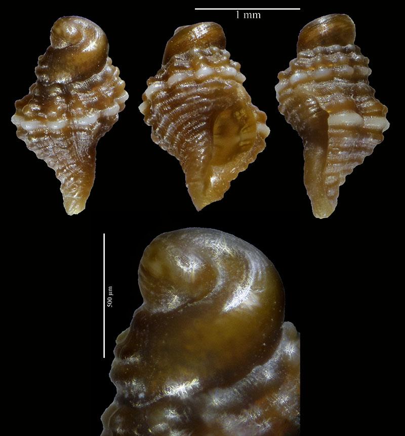 Brachystomia scalaris ? Ocineb10