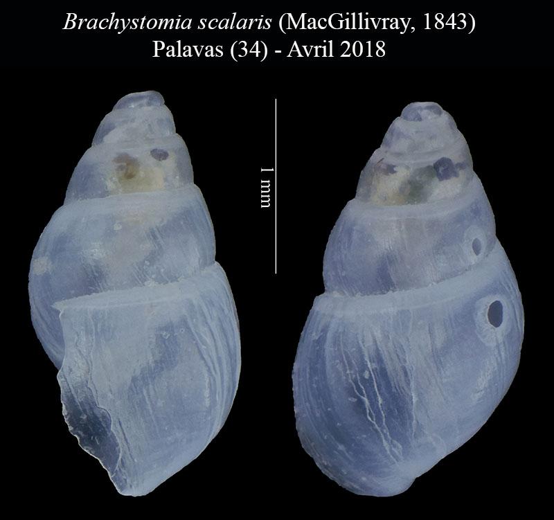 Brachystomia scalaris ? Odosto11
