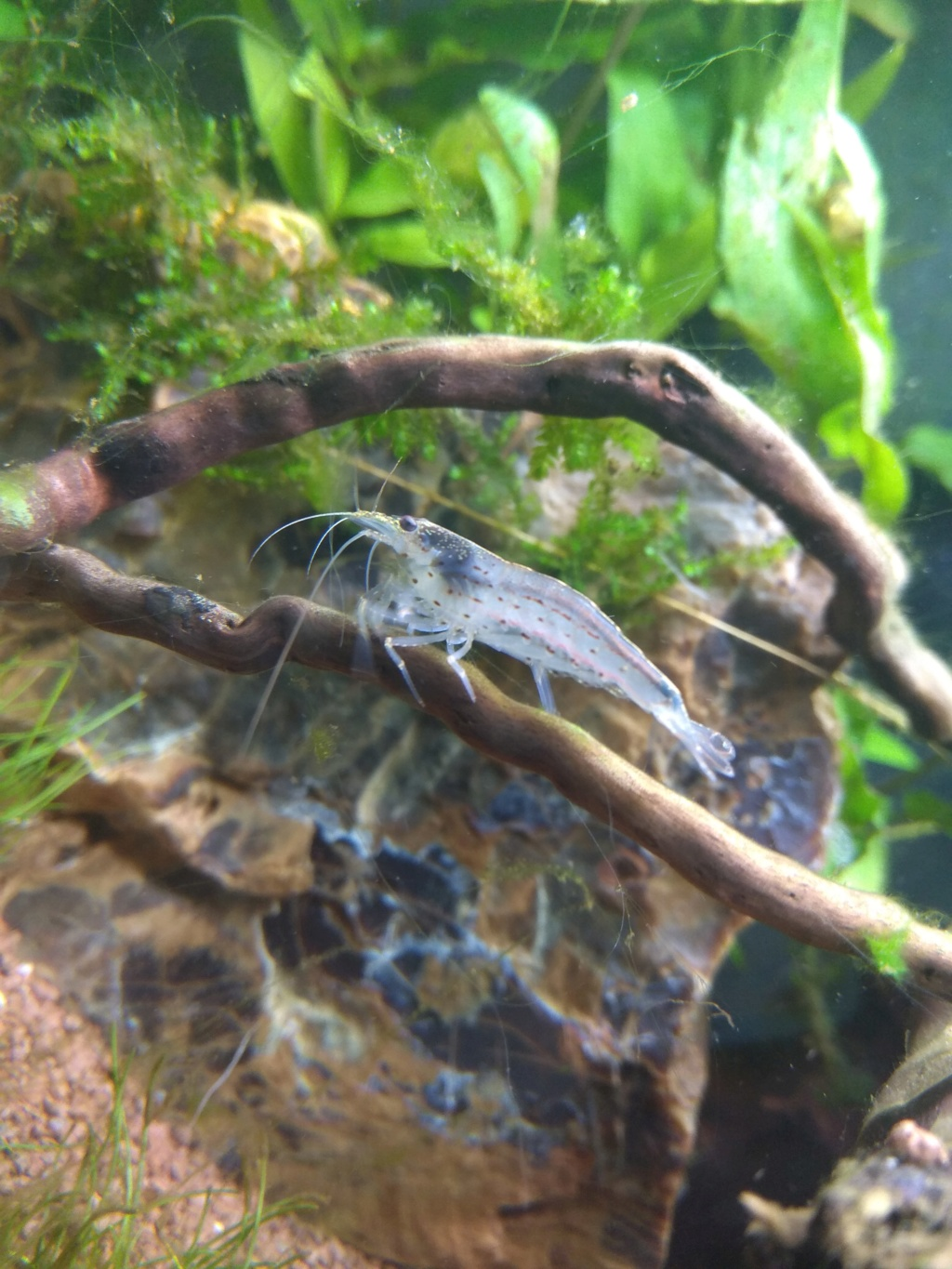 60l biotope asiatique - Page 3 Img_2017