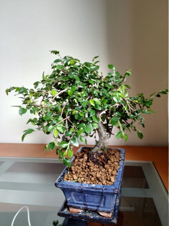 Mi primer bonsai, olmo chino Img_2010