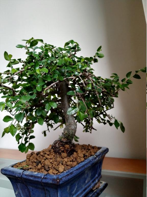 Mi primer bonsai, olmo chino Img_2011