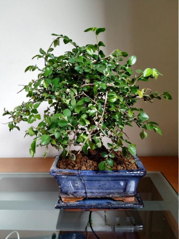 Mi primer bonsai, olmo chino Img_2012