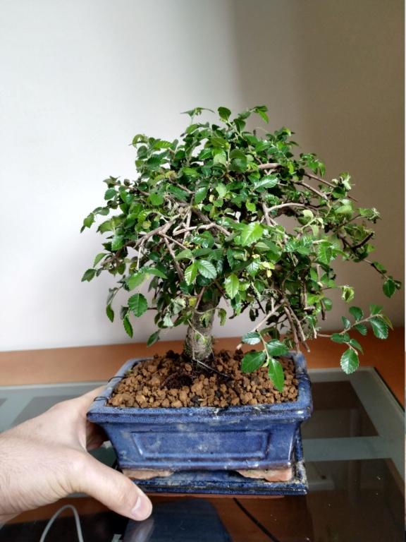 Mi primer bonsai, olmo chino Img_2013