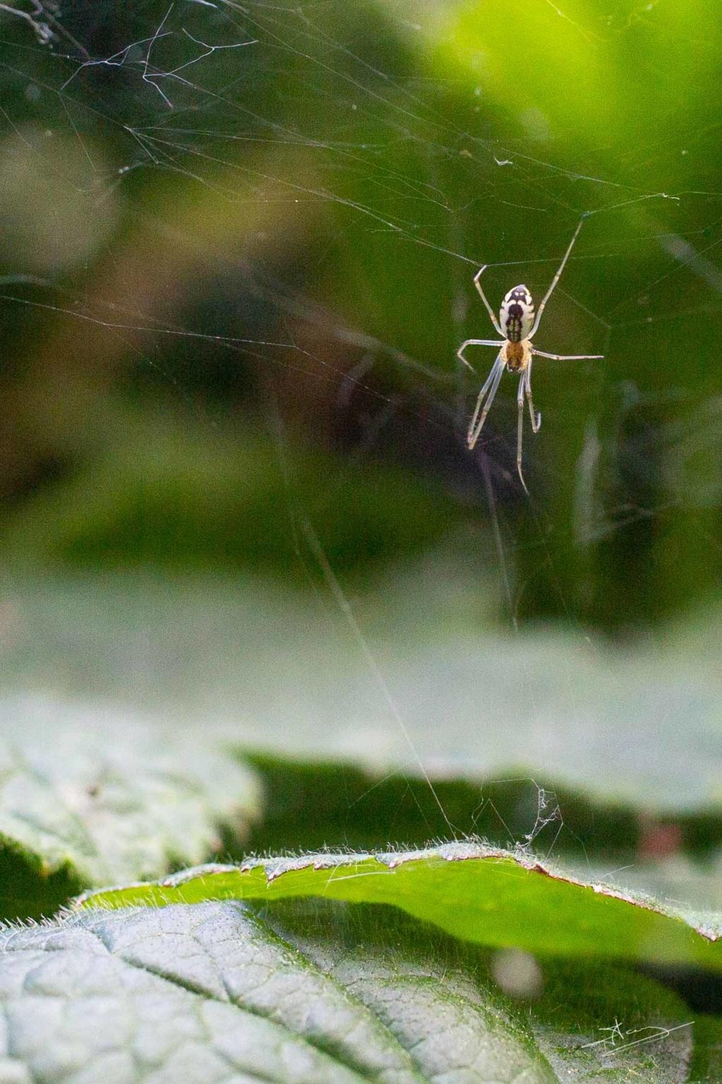[Neriene radiata] Araignée 5mm avec un petit diable dans le dos 2020-014