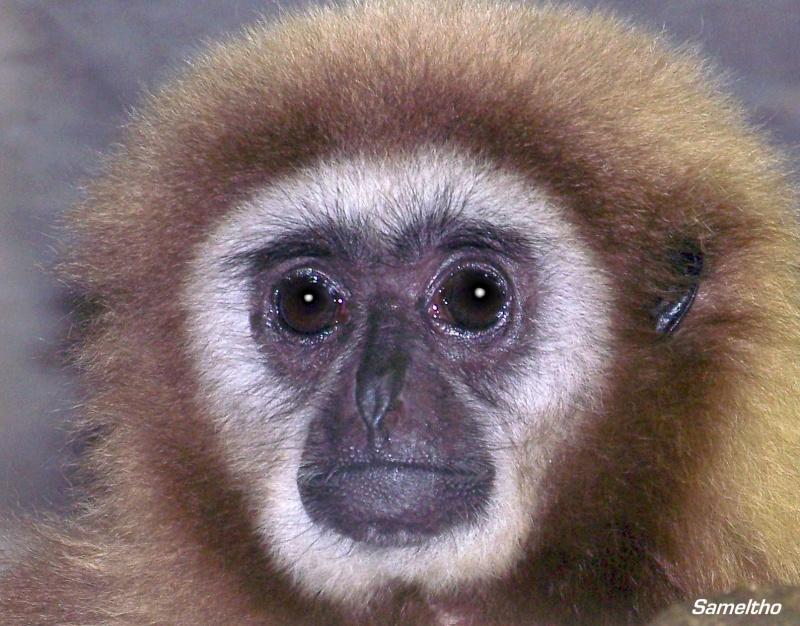 Le gibbon lar (Hylobates lar) 100_1312