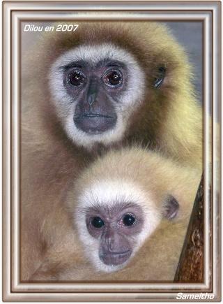 Le gibbon lar (Hylobates lar) 100_1315